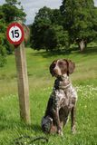 Dog sitting in front speed sign. Brown dog sitting in front a speed limit sign Royalty Free Stock Image