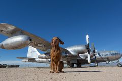 Dog sitting in front of vintage airplane royalty free stock images