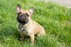 Dog sitting at the grass background. French Bulldog sitting in the green grass Royalty Free Stock Images