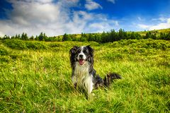 Dog is sitting in green grass and behind him is blue sky. He is in moss in Giant mountains stock photography