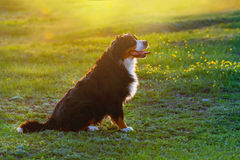 Dog sitting in green grass at sunset Stock Photos