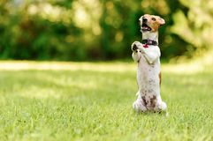 Dog sitting on hind legs begging with paws in praying gesture Stock Photos