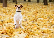 Dog sitting on hind legs in begging pose in fall autumn park