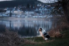 The dog is sitting by the lake. Australian Shepherd in nature. Pet walk. Travel royalty free stock photography