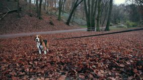 The dog is sitting on the leaves in the park. The dog beagle is sitting on the leaves in the park stock video