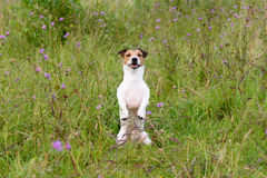 Dog sitting like groundhog. Jack Russell Terrier walking at grass field Stock Photography