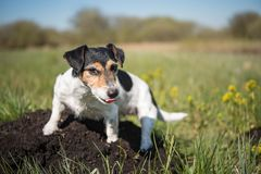 Dog is sitting on a molehill - Jack Russell Terrier 7 years ol stock photo