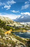 Dog Sitting on a Mountain Slope Next to a Lake Royalty Free Stock Photo