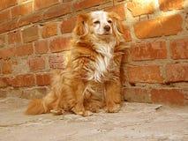 Dog is sitting near brick wall stock video footage