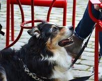 Dog sitting near cafe. Royalty Free Stock Images