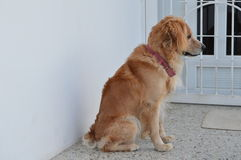 Dog sitting near front door Royalty Free Stock Photos