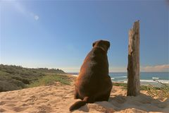 Chocolate Labrador longingly overlooking beach stock images