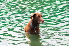A dog sitting obediently in the water waiting to play Royalty Free Stock Photography