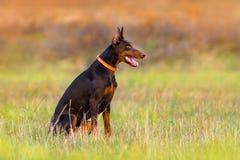 Dog sitting outdoor royalty free stock photo