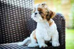 Dog sitting outdoor and posing on wicker chair. royalty free stock image
