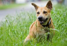 Mongrel dog sitting in the grass royalty free stock images