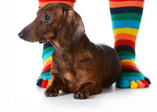Dog sitting with owner Royalty Free Stock Image
