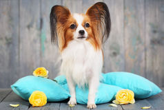 Dog sitting on pillows Royalty Free Stock Image
