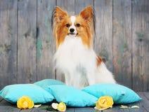 Dog sitting on pillows Stock Photos
