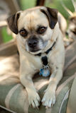 Dog sitting for portrait. A chihuahua pug cross, mix dog posing for portrait Stock Photos