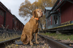 Dog sitting on railway tracks in vintage station. Vizsla dog sitting on train tracks in vintage station Royalty Free Stock Images
