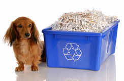 Dog sitting beside recycle bin. Adorable dachshund sitting beside blue recycle bin Royalty Free Stock Photos