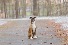 Dog Sitting on road through snowy woods Royalty Free Stock Photo