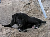 Dog sitting in the sand Royalty Free Stock Image