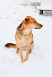 Dog sitting in snow Stock Photography