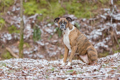 Dog Sitting in Snowy Woods Looking into Distance Royalty Free Stock Images