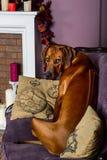 Dog sitting on a sofa watching its master. Rhodesian Ridgeback dog sitting on a sofa in front of a stylized candle fireplace, watching its master Royalty Free Stock Photo