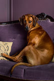 Dog sitting on a sofa watching its master. Rhodesian Ridgeback dog sitting on sofa in front of a stylized candle fireplace, watching its master Stock Photo