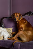 Dog sitting on a sofa watching its master. Rhodesian Ridgeback dog sitting on sofa in front of a stylized candle fireplace, watching its master Stock Photos