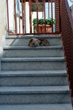 Dog sitting at staircase to defend his home Royalty Free Stock Photo