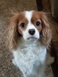 Cavalier King Charles Spaniel sitting stock photography