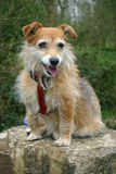 Dog sitting on stone. Panting cute brown Jack Russell cross Yorkshire terrier pet mongrel dog sitting on a large stone in woodland. Looking forwards. Ears erect royalty free stock photos