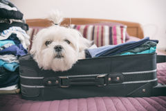 Dog sitting in the suitcase Royalty Free Stock Photography