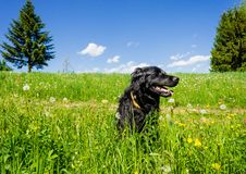 Dog sitting in a Summer Meadow Royalty Free Stock Images