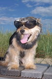Dog sitting with Sunglasses. At the beach in front of a dune stock image