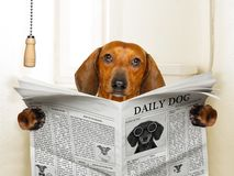 Dog sitting on toilet. Funny sausage dachshund dog sitting on toilet and reading magazine or newspaper with constipation royalty free stock photo