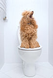 Dog sitting on toilet at home. Stock Images