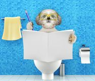 Dog sitting on a toilet seat with digestion problems or constipation reading magazine or newspaper and writing. Dog sitting on a toilet seat with digestion Stock Images