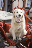 Dog sitting on tractor. Funny picture of a dog sitting on a tractor at a country fair Royalty Free Stock Image