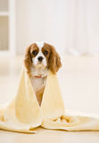Dog sitting under towel Royalty Free Stock Images