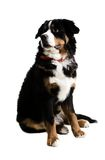 A dog sitting up. On a white background Royalty Free Stock Photography