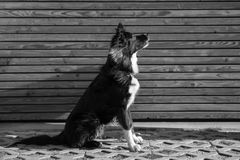 Dog sitting up. Black and white photography of an Attentive an curious dog portrait against wooden background Stock Images