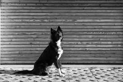 Dog sitting up. Black and white photography of an Attentive an curious dog portrait against wooden background Stock Photography
