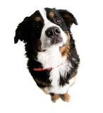 A dog sitting up and looking up. On a white background Stock Photos