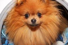 Dog sitting in a washing machine. Pomeranian orange spitz on white background. Laundry Stock Photo