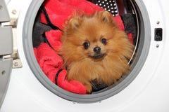 Dog sitting in a washing machine. Pomeranian orange spitz on white background. Laundry Royalty Free Stock Images